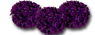 hydrangea macrophylla 39 deep purple dance 39. Black Bedroom Furniture Sets. Home Design Ideas